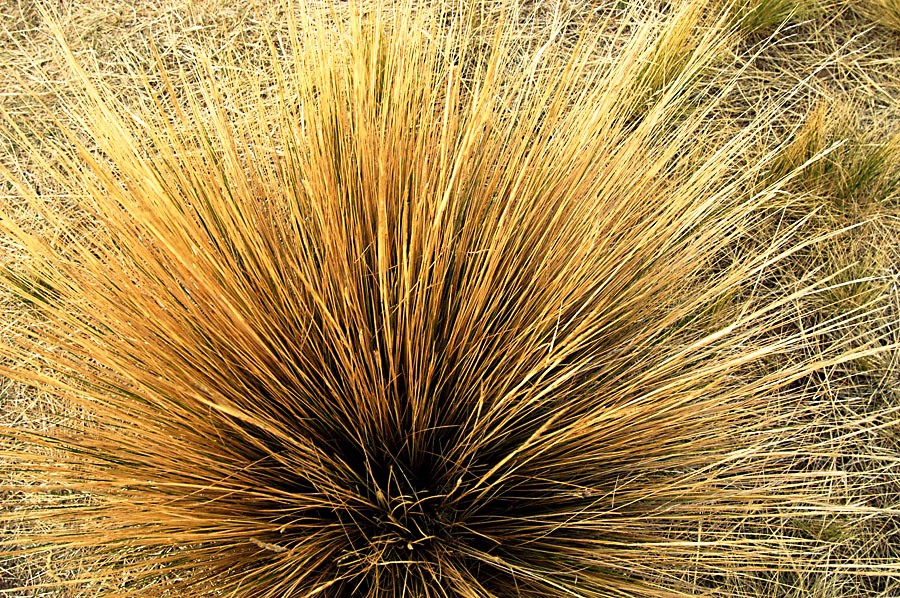 The omnipresent Ichu grass of the alitplano